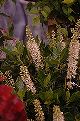 Sixteen Candles Summersweet (Clethra alnifolia 'Sixteen Candles') at Oakland Nurseries Inc