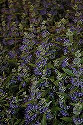 Blue Balloon Caryopteris (Caryopteris x clandonensis 'Korball') at Oakland Nurseries Inc