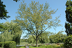 Skyline Honeylocust (Gleditsia triacanthos 'Skycole') at Oakland Nurseries Inc