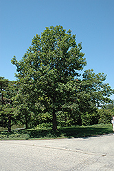 Shumard Oak (Quercus shumardii) at Oakland Nurseries Inc