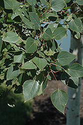 Prairie Gold Trembling Aspen (Populus tremuloides 'NE Arb') at Oakland Nurseries Inc