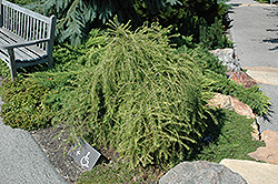 Puli Weeping Larch (Larix decidua 'Puli') at Oakland Nurseries Inc