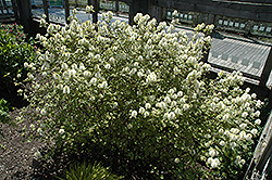 Mt. Airy Fothergilla (Fothergilla major 'Mt. Airy') at Oakland Nurseries Inc