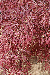 Ever Red Lace-Leaf Japanese Maple (Acer palmatum 'Ever Red') at Oakland Nurseries Inc