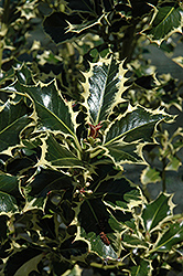Aureomarginata English Holly (Ilex aquifolium 'Aureomarginata') at Oakland Nurseries Inc
