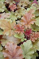 Marmalade Coral Bells (Heuchera 'Marmalade') at Oakland Nurseries Inc