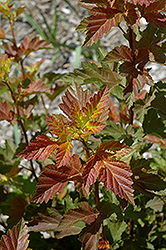 Amber Jubilee™ Ninebark (Physocarpus opulifolius 'Jefam') at Oakland Nurseries Inc