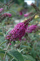 Miss Ruby Butterfly Bush (Buddleia davidii 'Miss Ruby') at Oakland Nurseries Inc