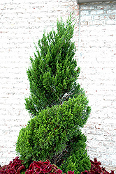 Spartan Juniper (spiral) (Juniperus chinensis 'Spartan (spiral)') at Oakland Nurseries Inc
