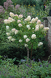 Limelight Hydrangea (tree form) (Hydrangea paniculata 'Limelight (tree form)') at Oakland Nurseries Inc