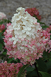 Vanilla Strawberry™ Hydrangea (Hydrangea paniculata 'Renhy') at Oakland Nurseries Inc