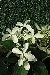 Great Star™ Hydrangea (Hydrangea paniculata 'Le Vasterival') at Oakland Nurseries Inc