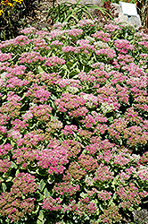 Brilliant Stonecrop (Sedum spectabile 'Brilliant') at Oakland Nurseries Inc
