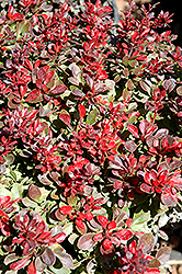 Bagatelle Japanese Barberry (Berberis thunbergii 'Bagatelle') at Oakland Nurseries Inc