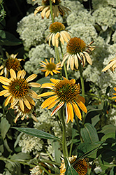 Big Sky Harvest Moon Coneflower (Echinacea 'Big Sky Harvest Moon') at Oakland Nurseries Inc