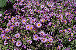 Woods Purple Aster (Aster 'Woods Purple') at Oakland Nurseries Inc