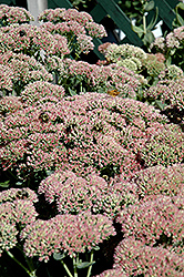 Autumn Fire Stonecrop (Sedum spectabile 'Autumn Fire') at Oakland Nurseries Inc