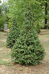 Castle Spire® Meserve Holly (Ilex x meserveae 'Hachfee') at Oakland Nurseries Inc
