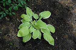 St. Elmo's Fire Hosta (Hosta 'St. Elmo's Fire') at Oakland Nurseries Inc