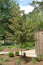Wildfire Black Gum (Nyssa sylvatica 'Wildfire') at Oakland Nurseries Inc