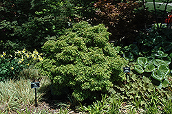 Sharp's Pygmy Japanese Maple (Acer palmatum 'Sharp's Pygmy') at Oakland Nurseries Inc