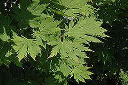 Rising Sun Fullmoon Maple (Acer japonicum 'Rising Sun') at Oakland Nurseries Inc