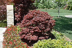 Rhode Island Red Japanese Maple (Acer palmatum 'Rhode Island Red') at Oakland Nurseries Inc