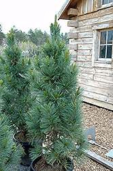 Algonquin Pillar Swiss Stone Pine (Pinus cembra 'Algonquin Pillar') at Oakland Nurseries Inc