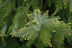 Gotelli Weeping Serbian Spruce (Picea omorika 'Gotelli Weeping') at Oakland Nurseries Inc