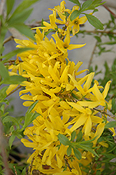 Gold Tide Forsythia (Forsythia x intermedia 'Gold Tide') at Oakland Nurseries Inc
