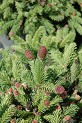 Pusch Spruce (Picea abies 'Pusch') at Oakland Nurseries Inc