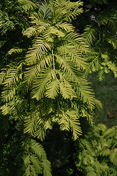 Gold Rush Dawn Redwood (Metasequoia glyptostroboides 'Gold Rush') at Oakland Nurseries Inc