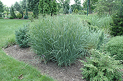 Heavy Metal Blue Switch Grass (Panicum virgatum 'Heavy Metal') at Oakland Nurseries Inc