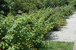 Heritage Raspberry (Rubus 'Heritage') at Oakland Nurseries Inc