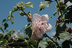 Miss Jilene Rose of Sharon (Hibiscus syriacus 'Hillis Variegated') at Oakland Nurseries Inc