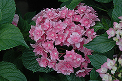 Expression Hydrangea (Hydrangea macrophylla 'Rie 06') at Oakland Nurseries Inc