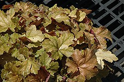 Midas Touch Coral Bells (Heuchera 'Midas Touch') at Oakland Nurseries Inc
