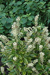 Hummingbird Summersweet (Clethra alnifolia 'Hummingbird') at Oakland Nurseries Inc