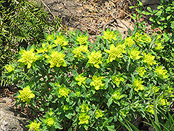 Cushion Spurge (Euphorbia epithymoides) at Oakland Nurseries Inc