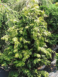 Confucius Gold Hinoki Falsecypress (Chamaecyparis obtusa 'Confucius Gold') at Oakland Nurseries Inc