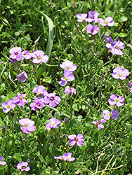 Rock Cress (Aubrieta columnae) at Oakland Nurseries Inc