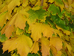 Columnar Norway Maple (Acer platanoides 'Columnare') at Oakland Nurseries Inc