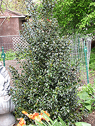 Blue Maid Meserve Holly (Ilex x meserveae 'Mesid') at Oakland Nurseries Inc
