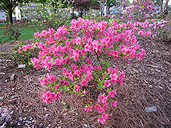 Boudoir Azalea (Rhododendron 'Boudoir') at Oakland Nurseries Inc