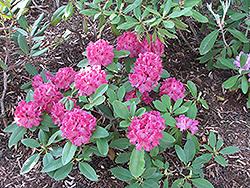 Besse Howells Rhododendron (Rhododendron 'Besse Howells') at Oakland Nurseries Inc