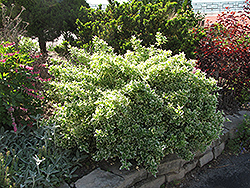 Emerald Gaiety Wintercreeper (Euonymus fortunei 'Emerald Gaiety') at Oakland Nurseries Inc