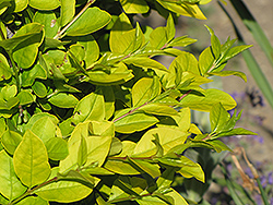 Golden Privet (Ligustrum x vicaryi) at Oakland Nurseries Inc
