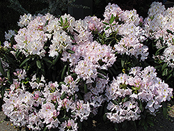 White Catawba Rhododendron (Rhododendron catawbiense 'Album') at Oakland Nurseries Inc