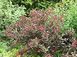 Midnight Wine® Weigela (Weigela florida 'Elvera') at Oakland Nurseries Inc