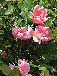 Rainbow Knock Out® Rose (Rosa 'Radcor') at Oakland Nurseries Inc
